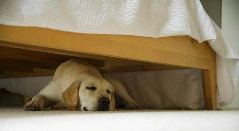 Why Do Dogs Sleep Under Beds Miss Molly Says