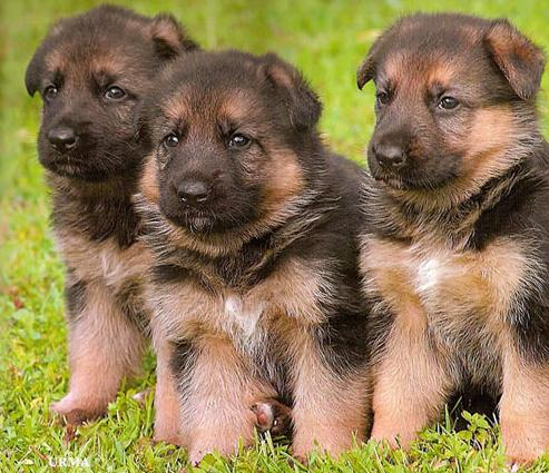 german shepherd puppies, spay or neuter