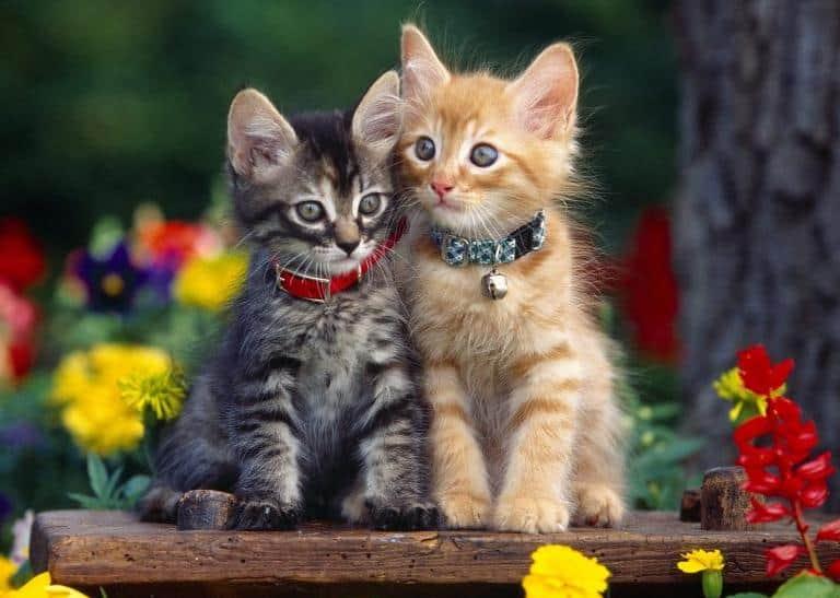 kittens, spay or neuter