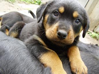 rottweiler puppy, spay or neuter