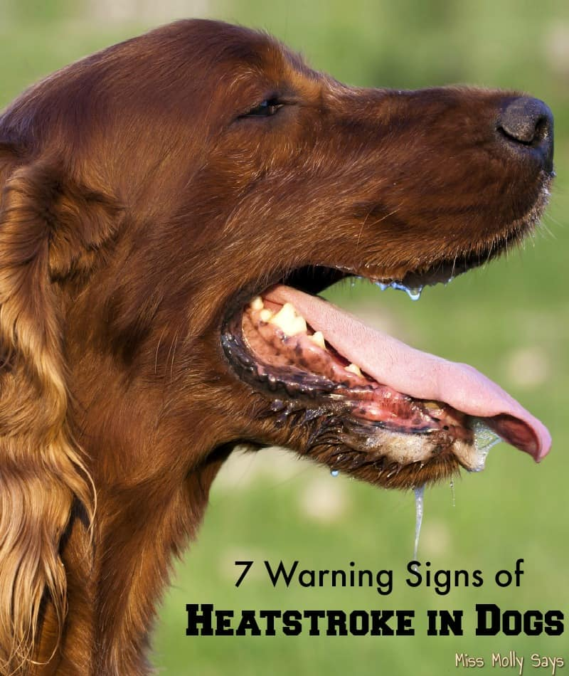 7 Warning Signs of Heatstroke in Dogs