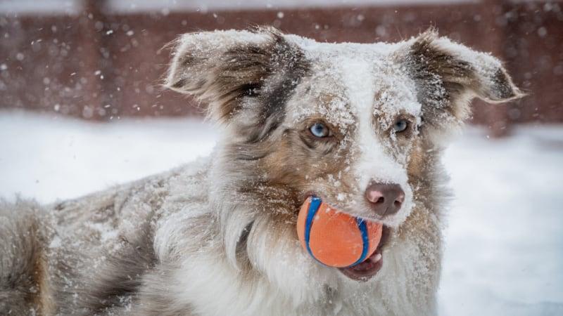 Australian Shephered holding an orange ball in the snow