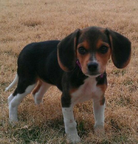 harley, beagle pup