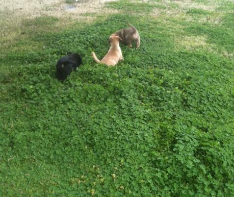 clover, shamrock's, puppies