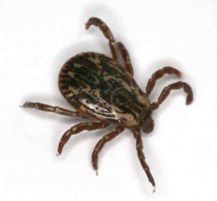 flea and tic season, tick