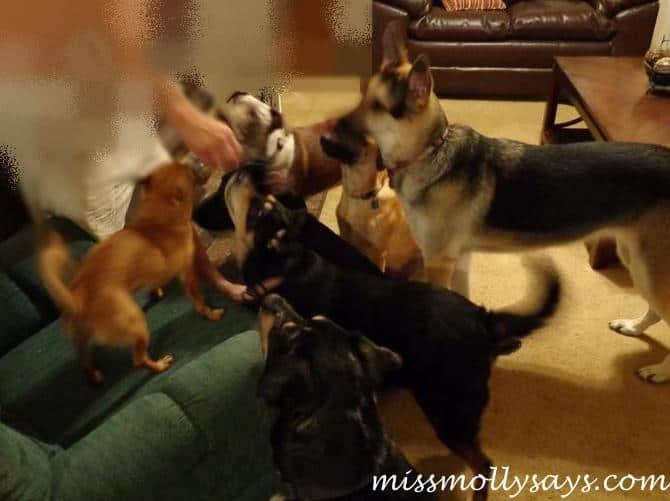 Orijen Dog Treats, Orijen Blank Angus Beef Dog Treat