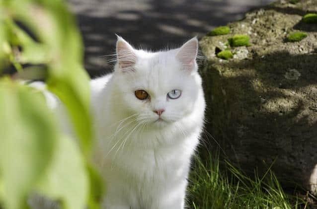 Cat Breeds, Persian Cat