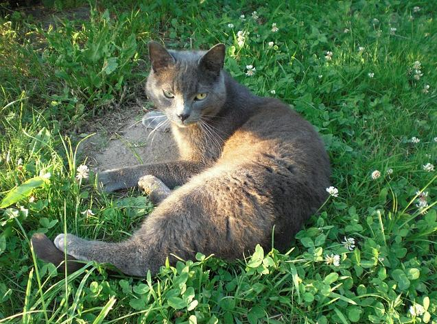 Do Cats Bond with their Owners, Russian Blue