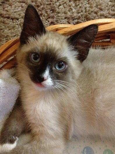 Cat Breeds, Siamese Cat