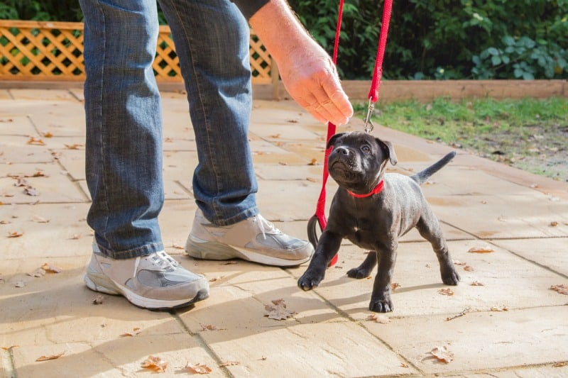 puppy on a red leash training
