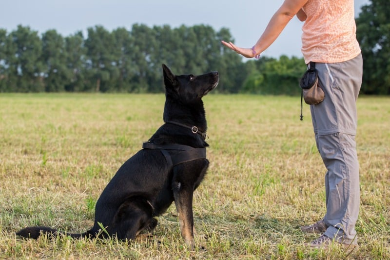 Black German Shepherd learning the sit command