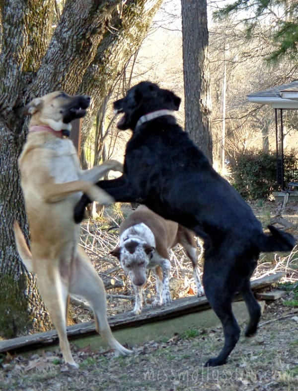 Wordless Wednesday - The Boxing Match!