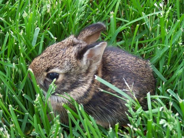 rabbit, Small creatures are not lunch, or even a snack!