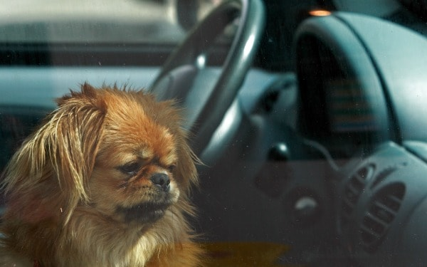 dogs-in-hot-cars