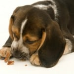 beagle-eating-treat, coupons-for-dog-food