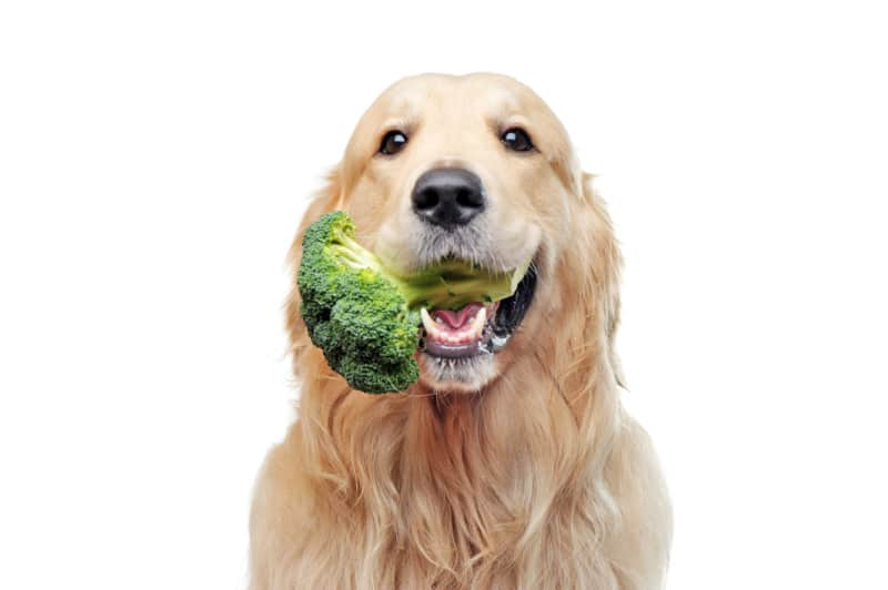 Golden retriever with broccoli in mouth