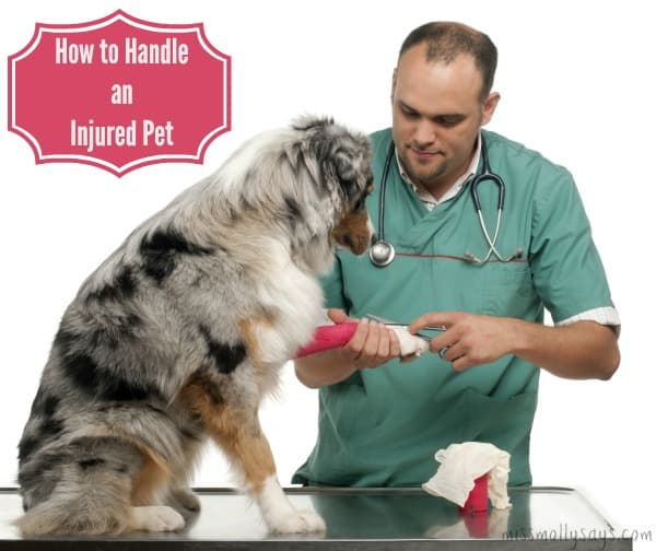 How-to-Handle-an-Injured-Pet