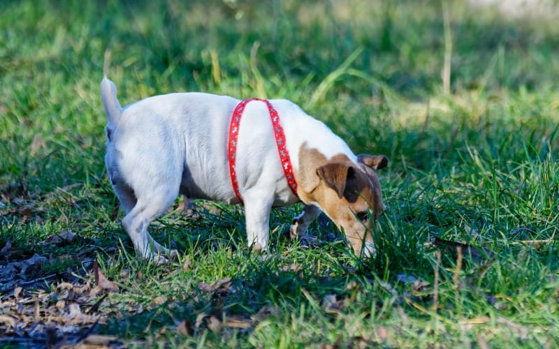 Small white dog sniffing the ground