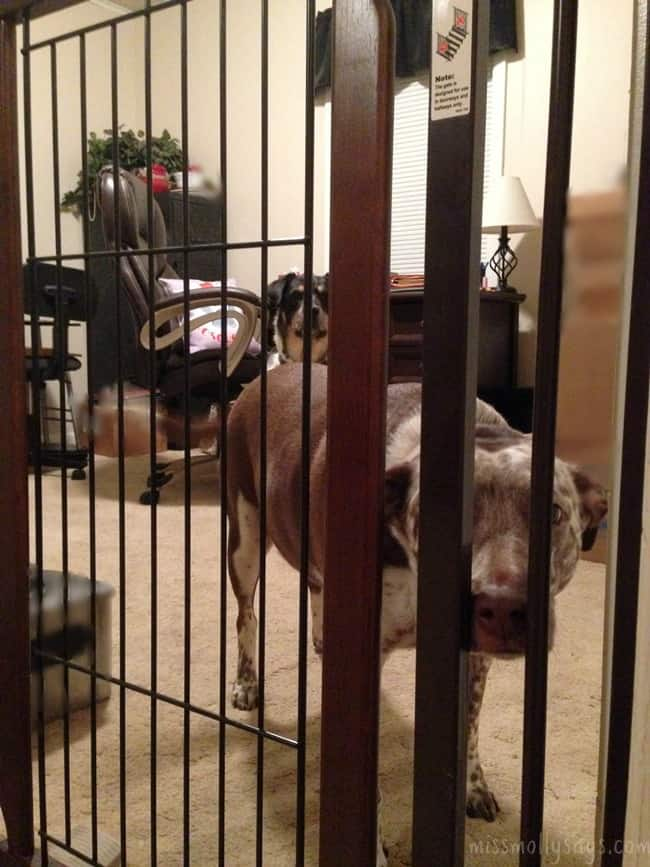 Richell-Hands-Free-Pet-Gate-Molly