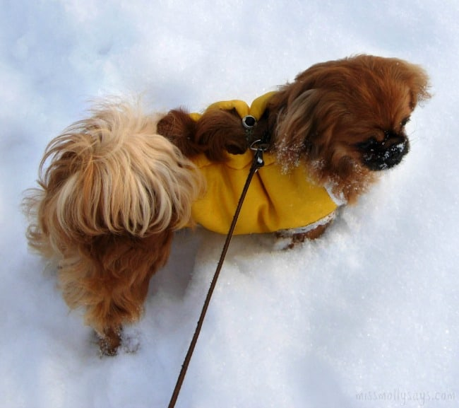 Housebreaking-Your-Puppy-in-the-Winter
