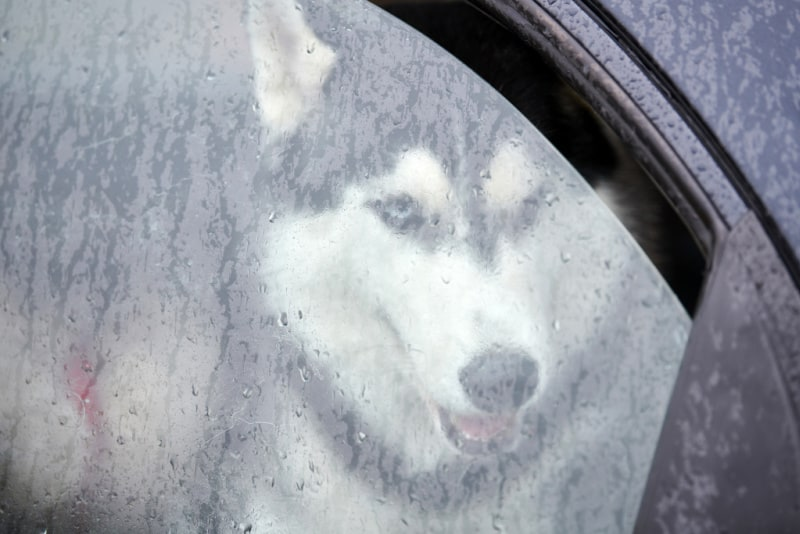 Husky looking out a cracked car window