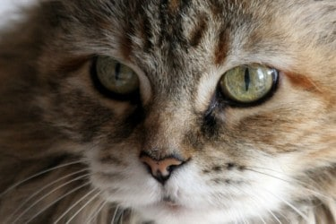10 Cat Breeds that are Great for Kids