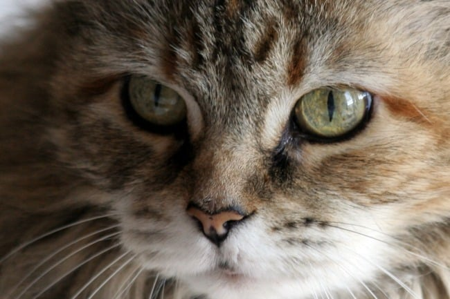 10-Cat-Breeds-that-are-Great-for-Kids