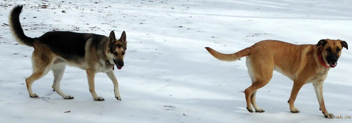 Wild Calling! Dog Food for Optimum Health  - Maggie and Brandi playing in the snow