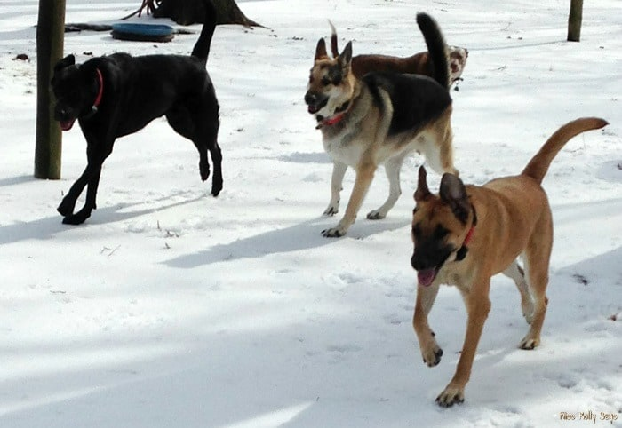 Wild Calling! Dog Food for Optimum Health, dogs playing in snow