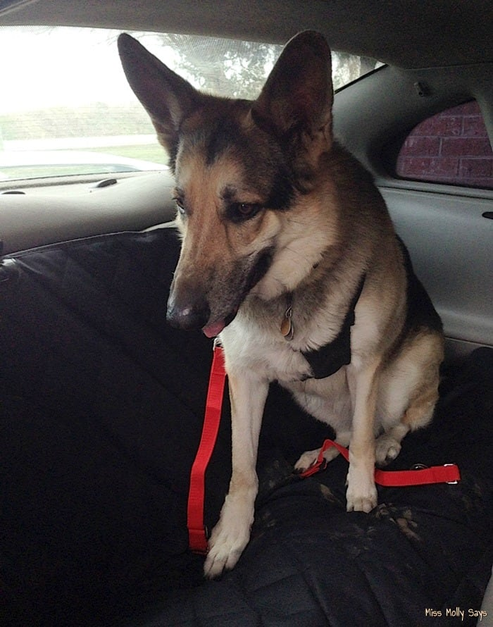 Pet Seat Cover with Seat Anchors from Plush Paws #review - Maggie sitting