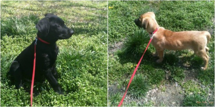Ozzy and Brandi on leashes as puppies, New Puppy Care & Advice Resource from Purina #MyPuppyhood