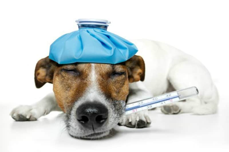 Pup Feeling Blue? Check Him for These 4 Common Illnesses