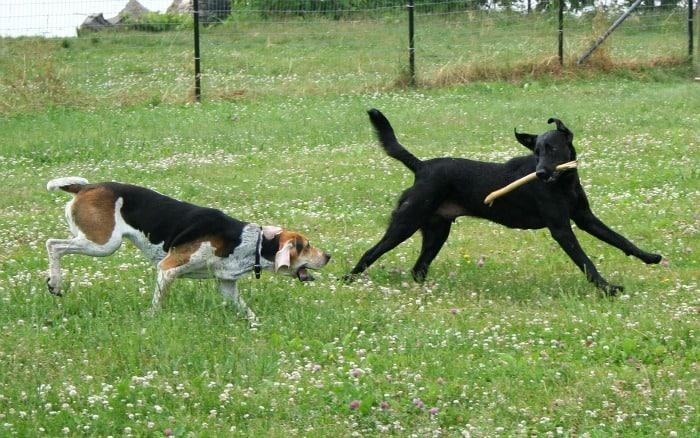 American Foxhound and Labrador Retriever