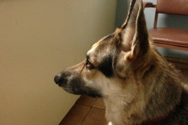 Large Breed Dogs: When to Rush to the Vet