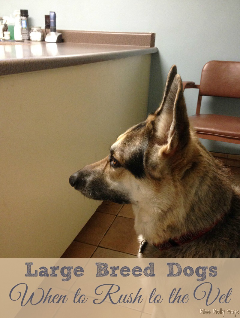Large Breed Dogs, When to Rush to the Vet