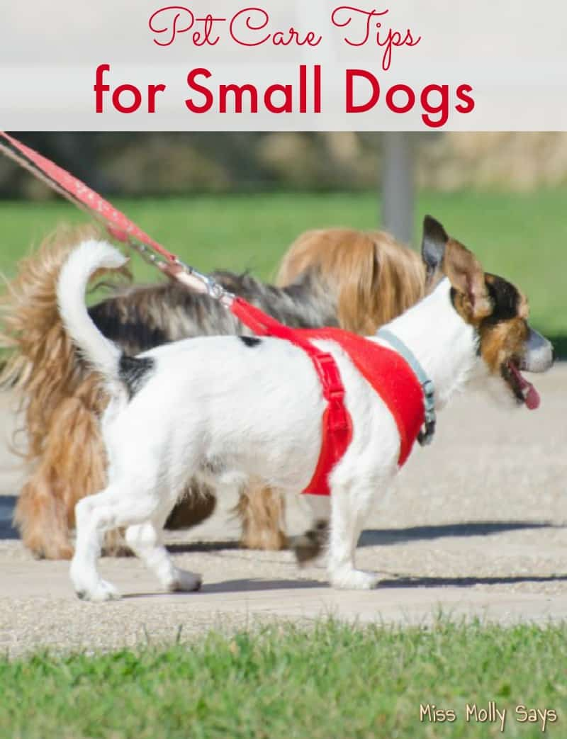 pet care tips for small dogs   miss molly says