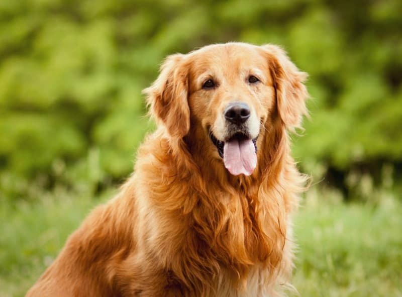 The 7 best dogs to have as a family companion miss molly for Best dogs for companionship