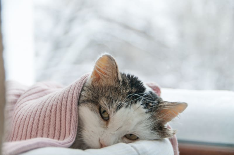 Sad cat covered with a blanket