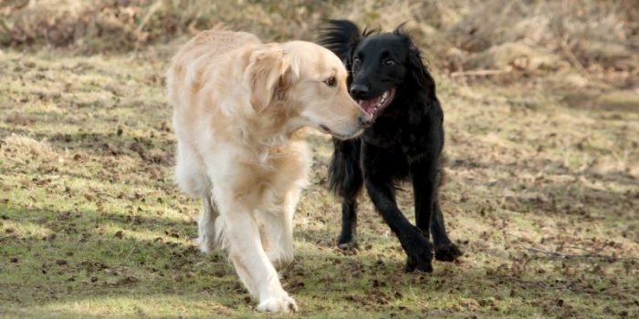 Choosing a Second Dog: Should You Get a Male or Female?