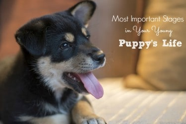 Most Important Stages in Your Young Puppy's Life