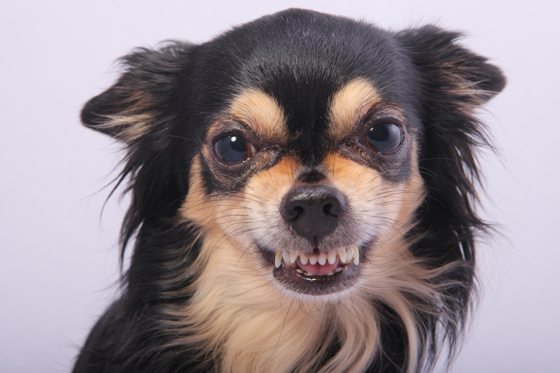 Black and tan Chihuahua showing its teeth