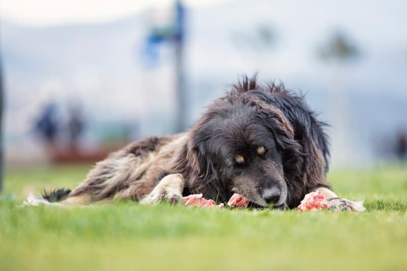 Dog eating something on a grassy lawn