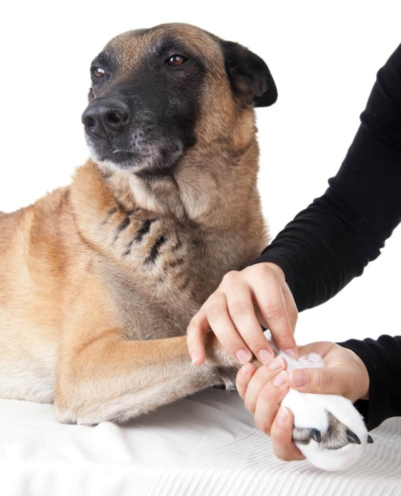 How to Prepare a Pet Emergency Kit - dog with hurt paw