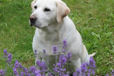 The Benefits Of Essential Oils For Dogs
