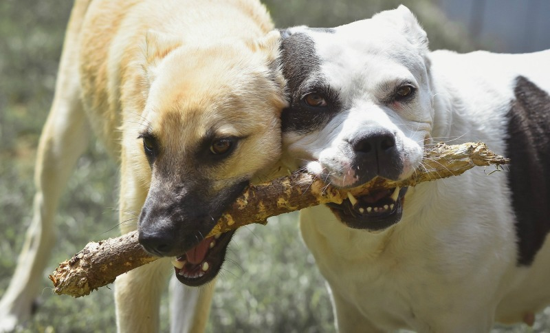 Two dogs carrying a tree branch