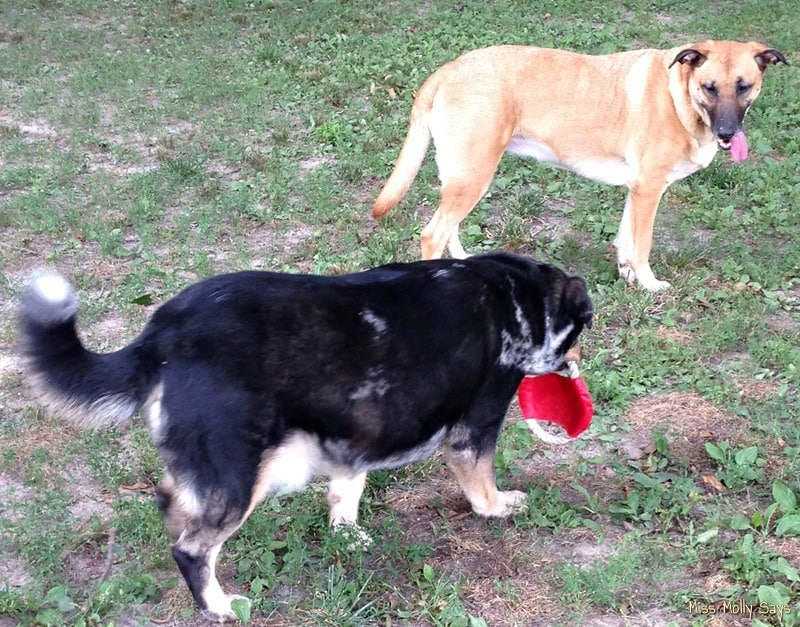 Australian Sheperd and German Shepherd-Lab mix playing with frisbee-rope