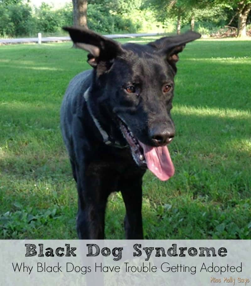 Black Dog Syndrome - Why Black Dogs Have Trouble Getting Adopted