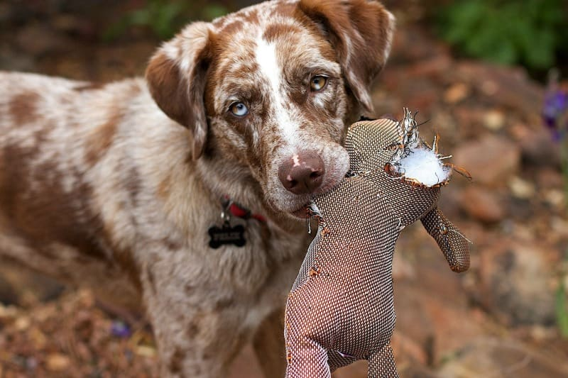 Brown and white dog with torn toy