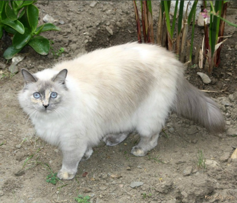 beautiful white cat with blue eyes on a cat adventure