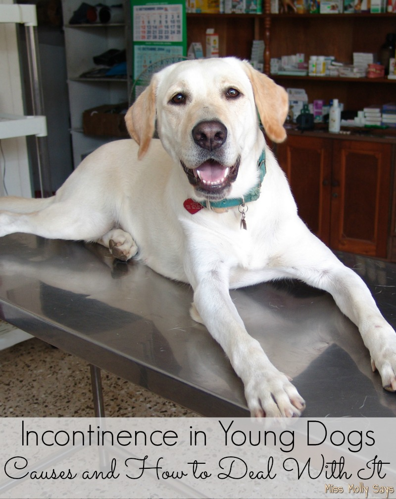 Incontinence in Young Dogs - young lab at vet